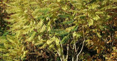 Ailanthus altissima (pajasen, kiseljak, rusovina)
