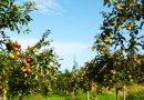 Sačuvajmo drevno voće