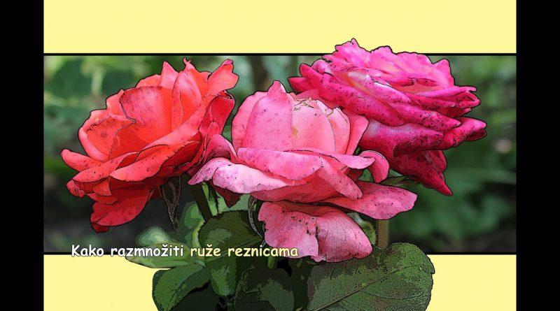 Razmnožavanje ruža