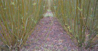 Uzgoj drvne bio mase