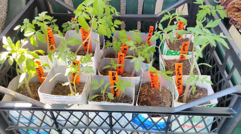 Presadnice rajčice u tetrapacima i kašeti...
